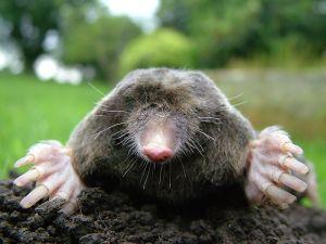 Close-up_of_mole Photograph by Michael David Hill